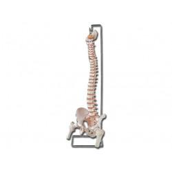 MODELLO COLONNA VERTEBRALE - con femore + osso sacro