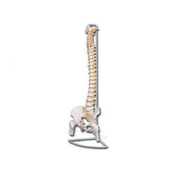 MODELLO COLONNA VERTEBRALE LINEA VALUE - con femori